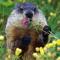 La Marmotte Coquette