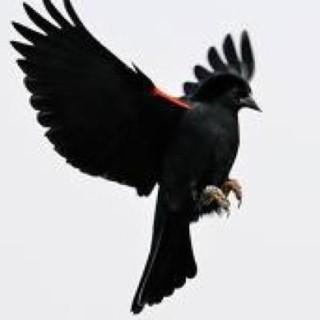 Blackbird Writes