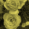 Sunrises and Roses