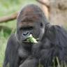 Basic Ape